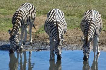 Addo Elephant Park, Safari, Zebra, Zebras, Garden Route Safari