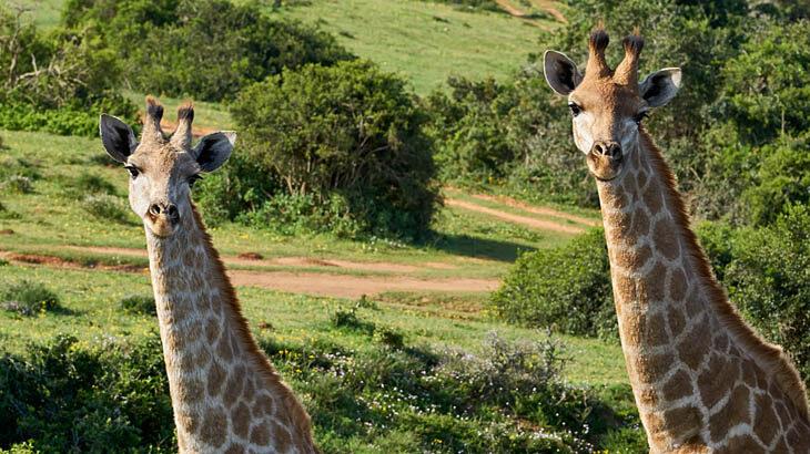 Safari, Schotia Private Game Reserve, Giraffen, Garden Route Touren