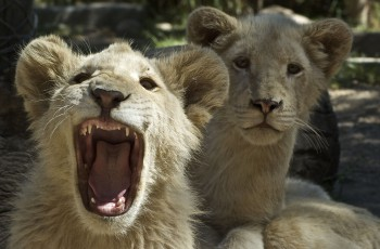 Oudtshoorn, Wildlife Ranch, weiße Löwen
