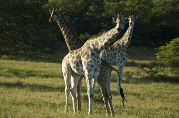Schotia Private Game Reserve, Giraffen, Safari