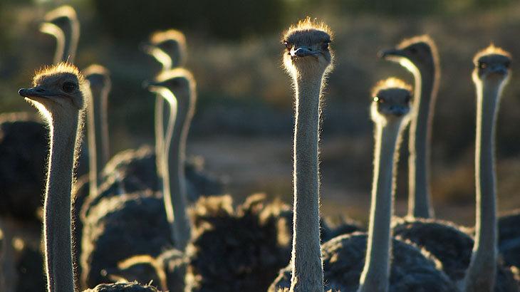 Garden Route, Gardenroute, Garden Route Touren, Kleine Karoo, Oudtshooorn, Strauße